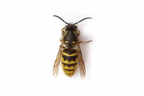 害虫駆除 ハチ